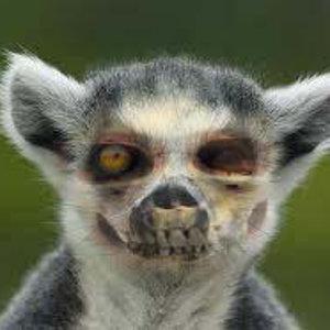 Lemur-Zomie.jpg